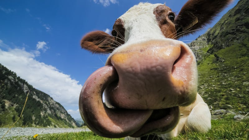 How South Dakota's Human-Cow Hybrids Are Helping Modern Medicine
