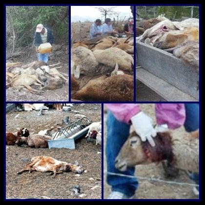 Honduras sheep attacks spark more chupacabra fears
