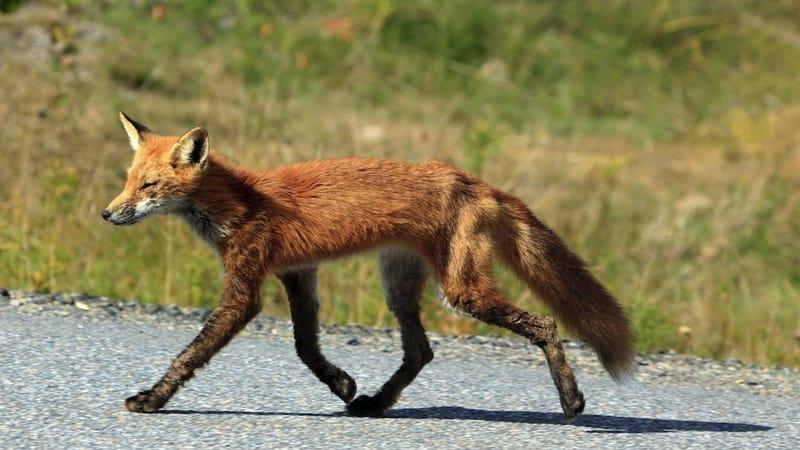 Quick Brown Fox Also Unrepentant Shoe Thief