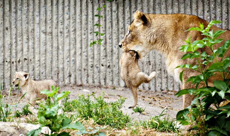 Zoo That Killed and Dissected a Giraffe Just Put Down a Lion Family
