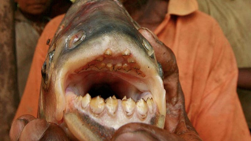 Meet the Ball Cutter fish, the piranha-cousin nicknamed for exactly what you think