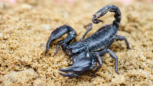 Lizards Eat Scorpions Angry Scorpions Eats You