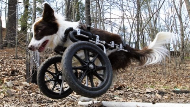 Roosevelt—The Bi-Pedal, Off-Roading Border Collie