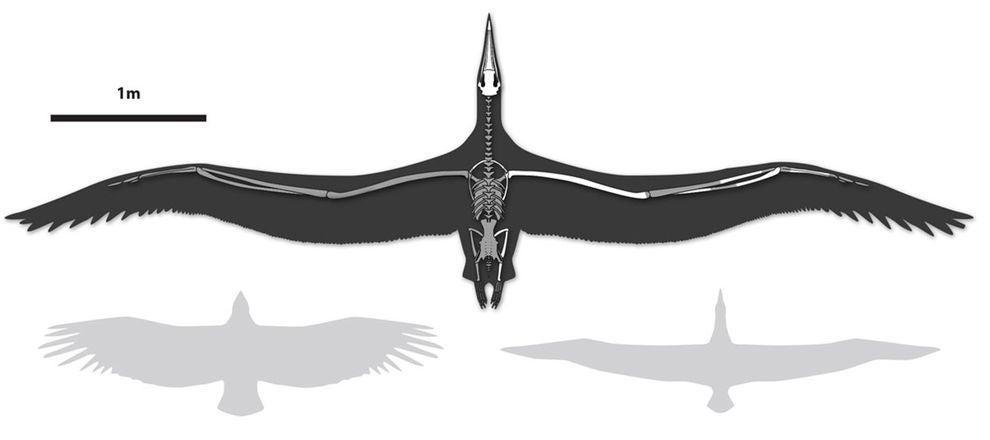 El ave m 225 s grande de la historia fue tan grande como un avi 243 n