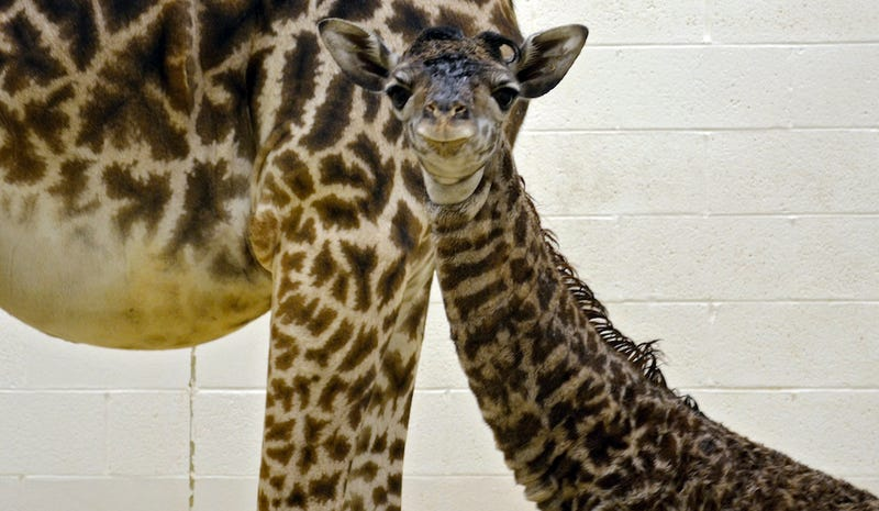 You Have Three Days to Name Cincinnati Zoo's Baby Giraffe