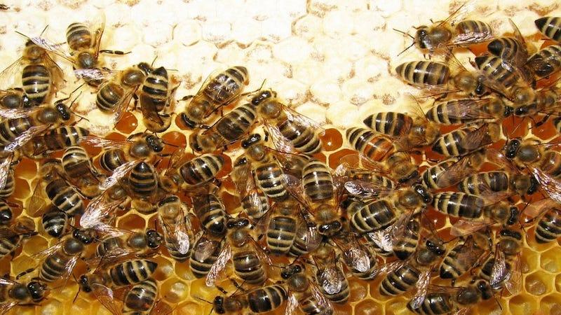 Entrenan abejas para localizar explosivos