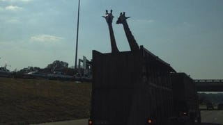 Giraffe Dies After Hitting Its Head on Low Highway Bridge