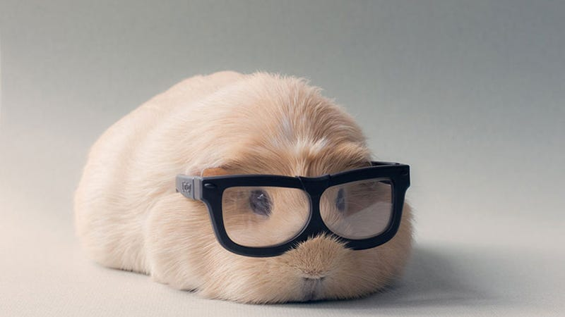 Hipster Guinea Pig Professor Boo Boo Was Cute Before it Was Cool