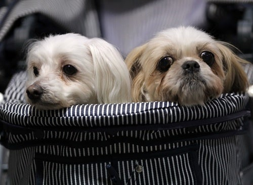 Cuteness Explosion: Welcome To The Asian International Dog Show