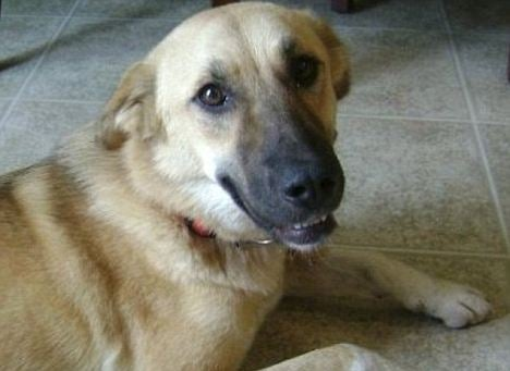 Heroic Afghan Dog Euthanized by Mistake