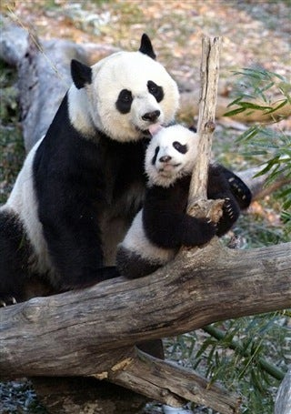 Panda Pregnancy Watch 2009