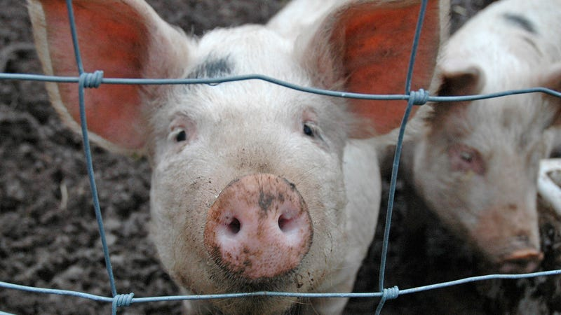 "China Is Cloning Pigs on an ""Industrial Scale"""