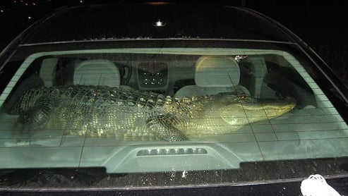 Burglary Suspect Caught With Six Foot Alligator Copilot