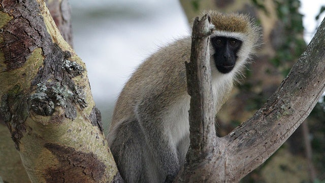 Monkeys want to fit in just as much as humans do
