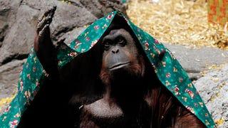 This Orangutan Is
