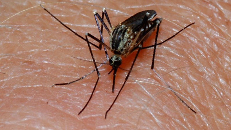 A potential new malaria vaccine puts weakened parasites into the body