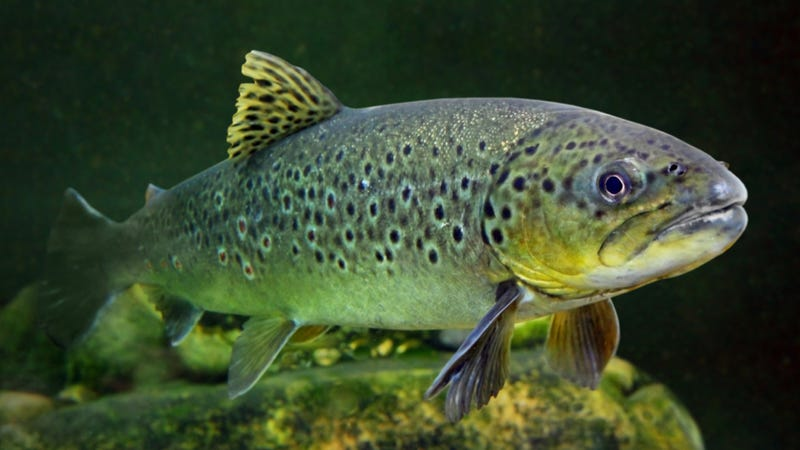 Scientists use trout to unlock the secrets of magnetic cells