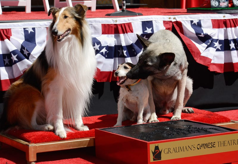 Uggie the Dog Becomes First Canine to Have Prints Cemented Outside Grauman's Chinese Theatre