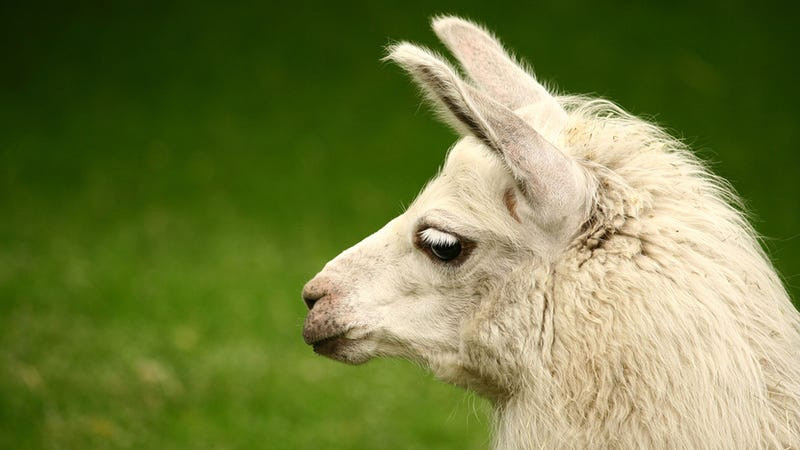 Escaped Florida Llama Brought Down By Taser