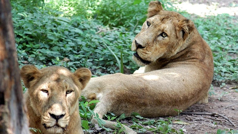 The Curious Case of Botswana's Androgynous Lionesses