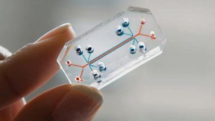 This See-Through Microchip Can Mimic an Actual Human Organ