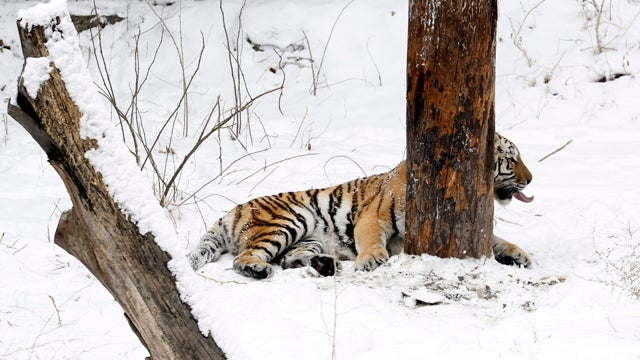 Tiger Gives Snow A Much-Deserved Raspberry