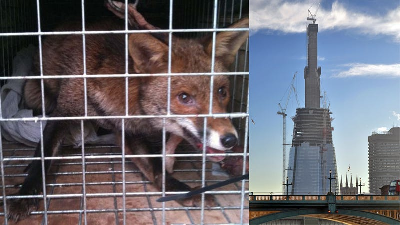 Mr Fox Found Living Fantastically on 72nd Floor of Europe's Tallest Building