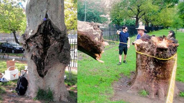 Brooklyn's Famed Vagina Tree Felled by Irene