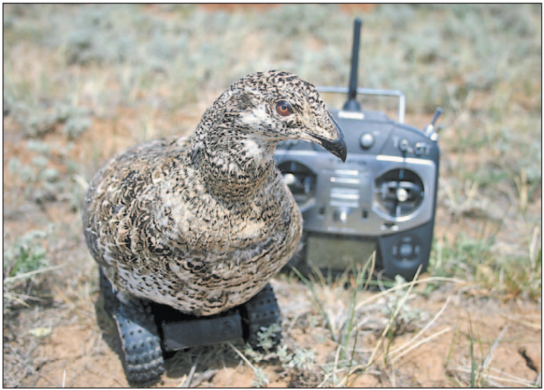 This Is The Mating Dance Of The Greater Sage-Grouse, An Imperiled Bird