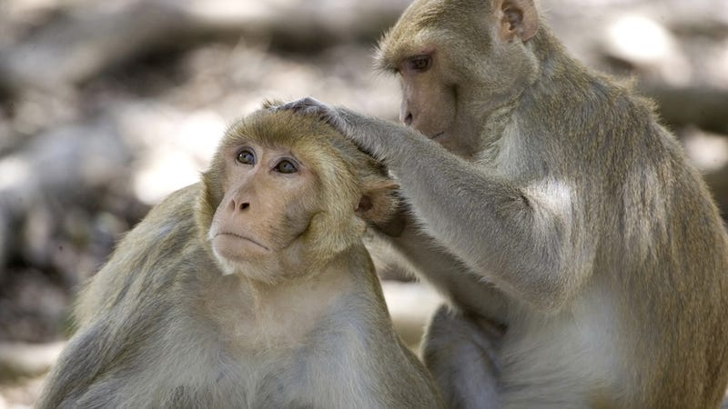 Of Course Florida is Teeming With Herpes-Infected Monkeys