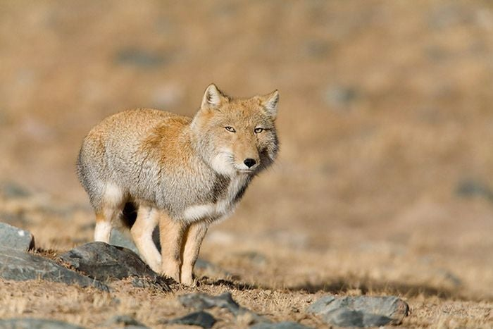 Wednesday Woof - Vulpes ferrilata Edition