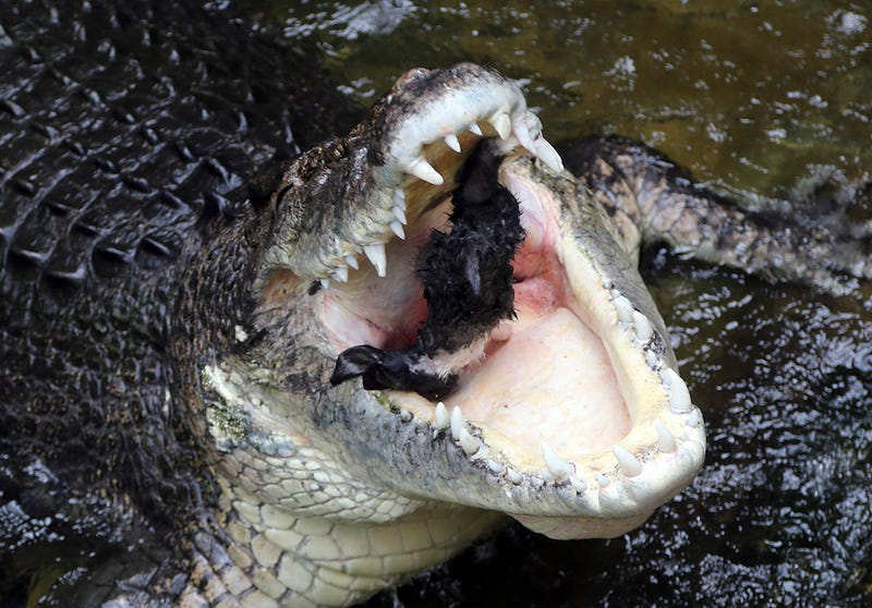 Crocodile Named John Attacks Zookeeper in Front of Terrified Visitors