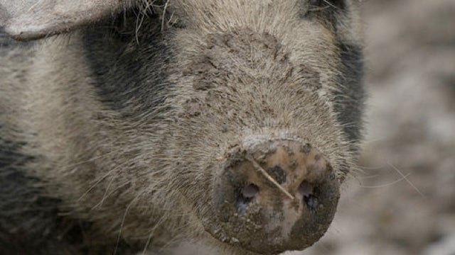 Pig-to-human transplants could be closer than you think