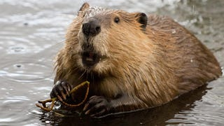 Toyota Gives Up Its Fight Against Beavers, Issues Hilarious Statement