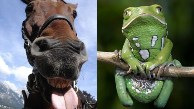 Race Horses Now Doping By Licking Frogs