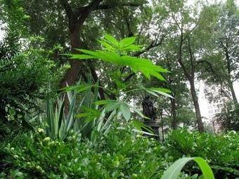A Marijuana Tree Grows in Manhattan