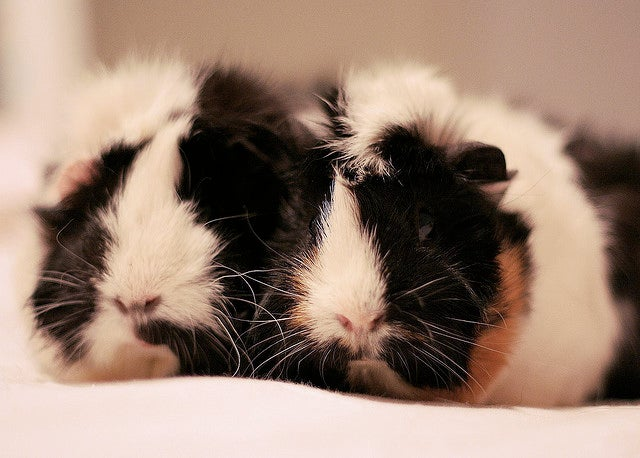 Police Storm in on Suspected Hydroponic Hothouse (But Only Find a Few Startled Guinea Pigs)