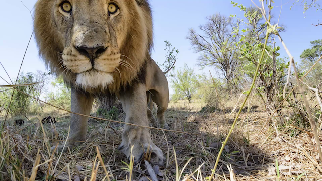 THIS is how you photograph a pride of lions
