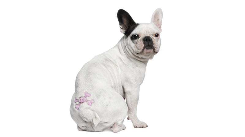 To Quicken the Demise of Humanity, Try Giving Your Dog a Temporary Tattoo.
