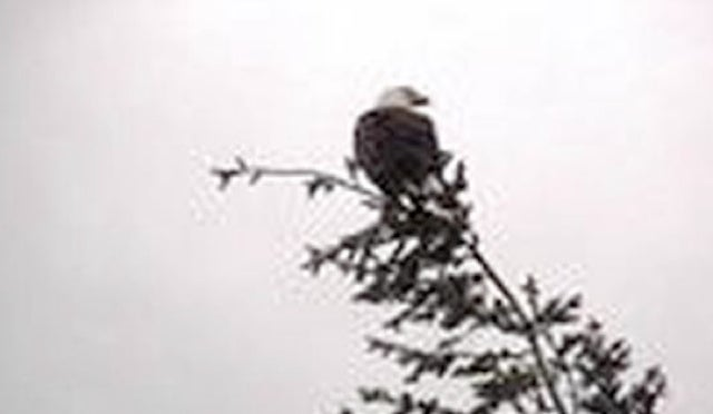 This Is A Story About A Bald Eagle Dropping A Deer On Power Lines In Montana