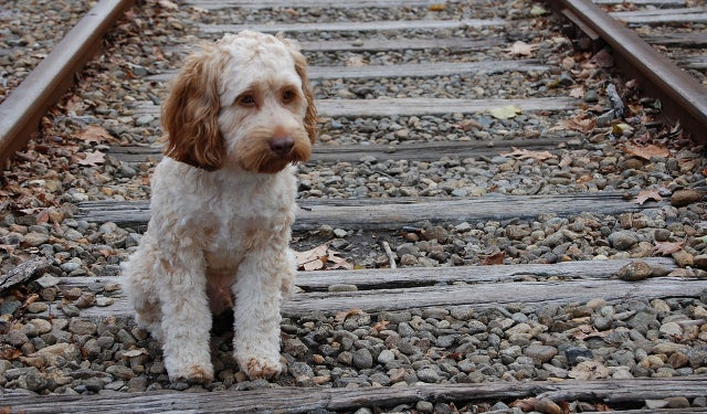 Hero Dog Run Over by Train After Pulling Suicidal Owner Off Tracks