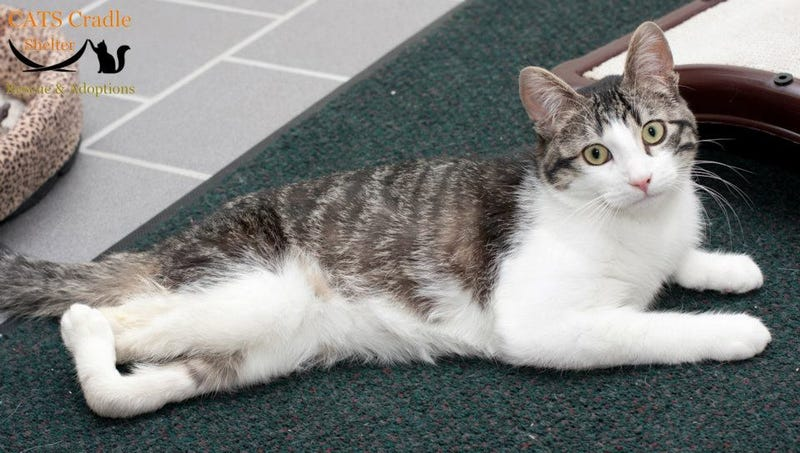 Trailblazing Surgery Saves Life of Cat Born with Backward Legs