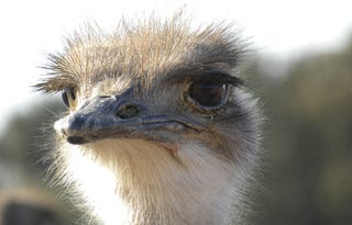 Ostriches sleep like platypuses (and look wide awake when they do)