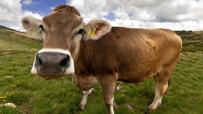 Origin of Modern Cows Traced to a Single Herd