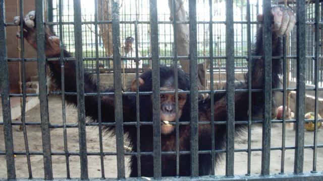 Zoos are giving chimps mental illnesses