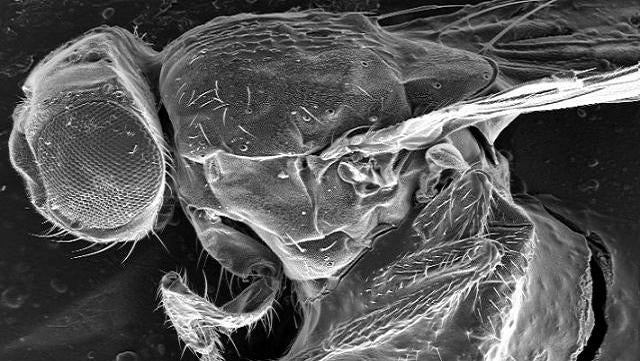 Fruit flies can cure themselves of intestinal parasites, with the power of alcohol