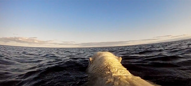 Watching desperate polar bears searching for ice is truly heartbreaking