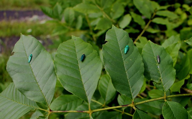 These Decoy Insects Zap the Nasty Bugs That Try to Mate With Them