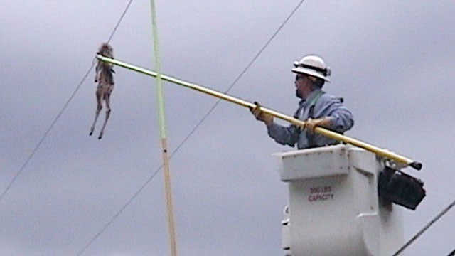 Why Is This Deer Dangling From a Power Line?