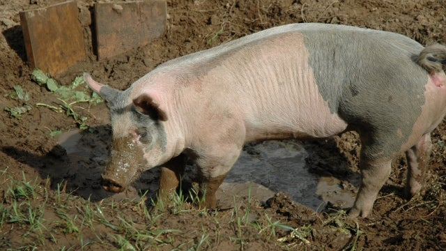 Pigs loved the mud too much to bother evolving sweat glands